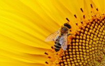 abeja en planta de girasol