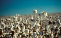 Definición de estrategias regionales para el manejo del picudo del algodonero